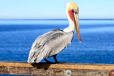 Photograph - Brown Pelican On Pier by Ben Graham