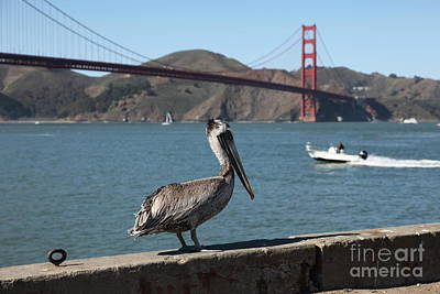 Frisco Pier Photograph - Brown Pelican Overlooking The San Francisco Golden Gate Bridge 5d21670 by Wingsdomain Art and Photography
