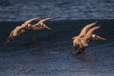 Photograph - Brown Pelican Pairs 73a2331 by David Orias