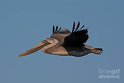 Photograph - Brown Pelican Pelecanus Occidentals  Photo By Pat Hathaway 2007 by California Views Archives Mr Pat Hathaway Archives
