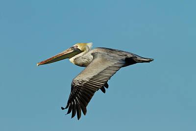 Brown Pelican (pelecanus Occidentalis Art Print by Larry Ditto