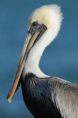 Photograph - Brown Pelican Portrait by Bradford Martin