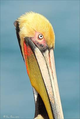 Photograph - Brown Pelican Portrait by Daniel Behm
