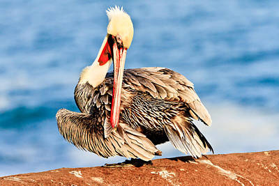 Photograph - Brown Pelican Preening by Ben Graham