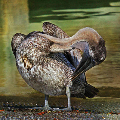 Brown Pelican Preening Print by HH Photography of Florida