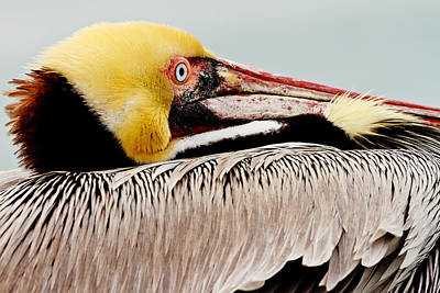 Photograph - Brown Pelican Profile by Ben Graham