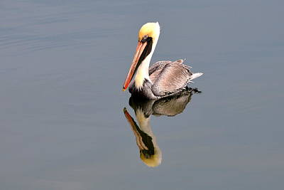 Photograph - Brown Pelican Reflection 2 by Debra Martz