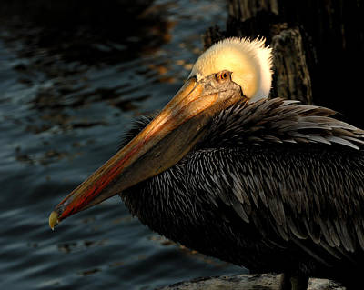 Photograph - Brown Pelican Resting by Susan D Moody
