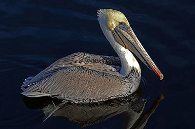Photograph - Brown Pelican by Rodney Campbell