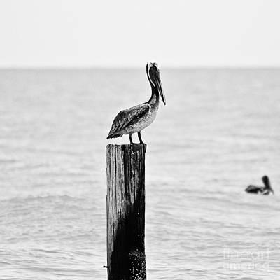 Brown Pelican Print by Scott Pellegrin