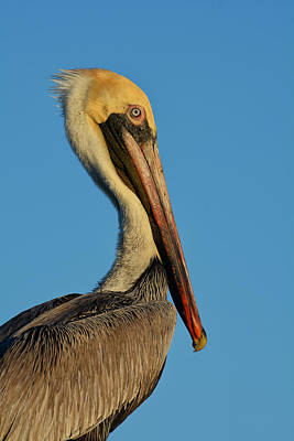 Photograph - Brown Pelican by Susan D Moody