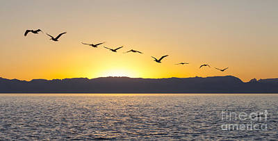 Photograph - Brown Pelicans At Sunset by Liz Leyden