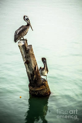 Photograph - Brown Pelicans by Imagery by Charly