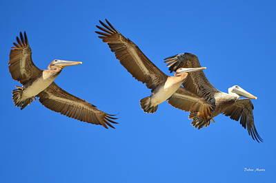 Art Print featuring the photograph Brown Pelicans In Flight by Debra Martz
