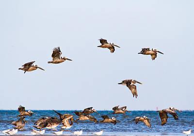 Bird Photograph - Brown Pelicans In Flight - Texas by Ellie Teramoto