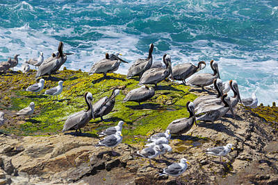 Brown Pelicans Art Print