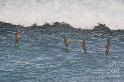 Photograph - Brown Pelicans Pelecanus Occidentalis Wild California by Dave Welling