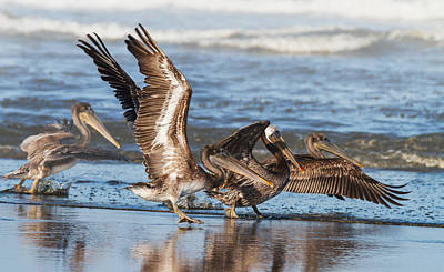 Hop Photograph - Brown Pelicans Taking Flight by Angie Vogel