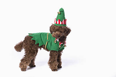 Best Friend Photograph - Brown Poodle With Christmas Jester by Corey Hochachka