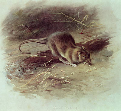 Rodent Drawing - Brown Rat Rattus Norvegicus 1918 Coloured Engraving by Archibald Thorburn