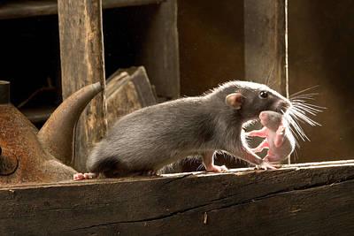 Pet Care Photograph - Brown Rat With Pup by Jean-Michel Labat
