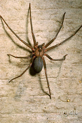 Fiddleback Photograph - Brown Recluse Spider by S. Camazine/K. Visscher