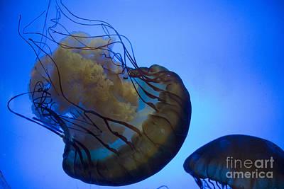 Photograph - Brown Sea Nettle by Steven Parker