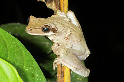 Neotropical Photograph - Brown Sided Bromeliad Treefrog by Dr Morley Read