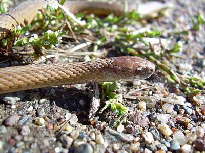 Photograph - Brown Snake by Kent Lorentzen