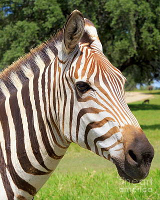 Zebra Photograph - Brown Striped Zebra by Rachel Munoz Striggow