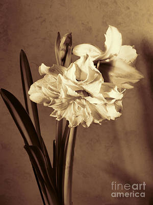 Photograph - Brown Study Of Amaryllis by Brenda Kean