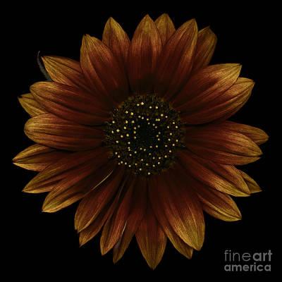 Sunflower Photograph - Brown Sunflower by Oscar Gutierrez