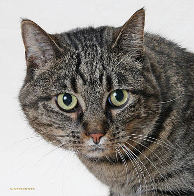 Photograph - Brown Tabby  by Kimber  Butler