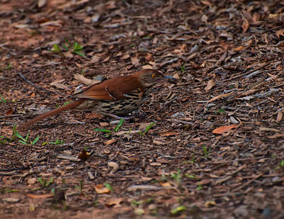 Digital Art - Brown Thrasher Eating A Cricket by Chris Flees