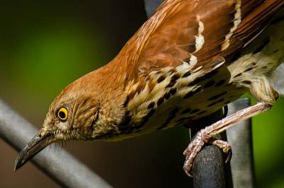 Photograph - Brown Thrasher by Robert L Jackson