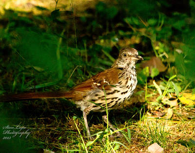 Brown Thrasher Original by Stanley Lupo
