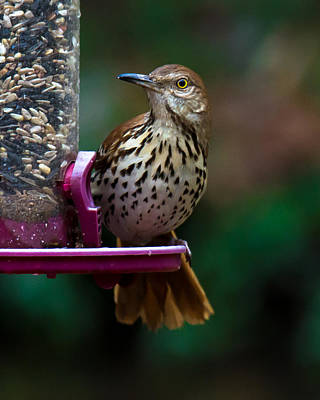 Photograph - Brown Thrasher - State Bird Of Georgia by Robert L Jackson