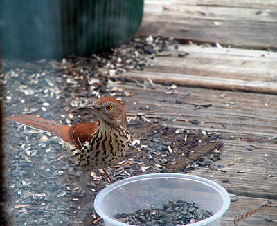 Photograph - Brown Thrasher Visit by Ericamaxine Price
