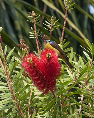 Photograph - Brown-throated Sunbird Dthn0141 by Gerry Gantt