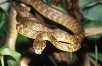 Photograph - Brown Tree Snake Boiga Irregularis by John Mitchell