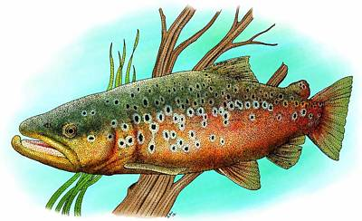 Photograph - Brown Trout by Roger Hall