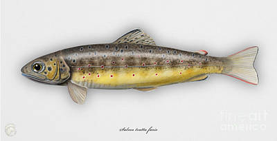 Trout Stream Drawing - Brown Trout - Salmo Trutta Morpha Fario - Salmo Trutta Fario - Game Fish - Flyfishing by Urft Valley Art