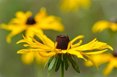 Photograph - Browned Eyed Susan by Amy Porter