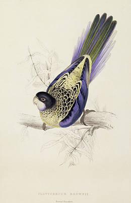 Browns Parakeet Print by Edward Lear