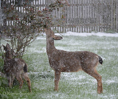 Photograph - Browsing In The Snow by Ronda Broatch