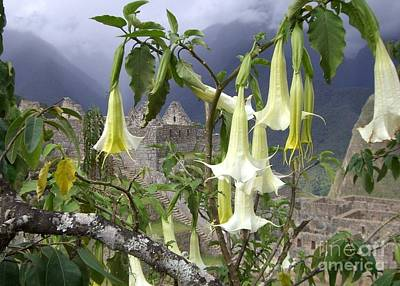 Photograph - Brugmansia At Machu Picchu by Barbie Corbett-Newmin
