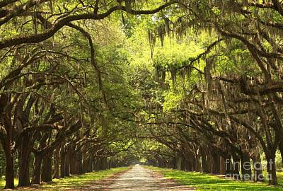 Photograph - Brunswick Avenue Of The Oaks by Adam Jewell