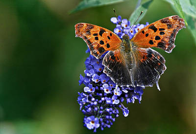 Flowers Photograph - Brushfoot Satyr Comma by Marcia Colelli