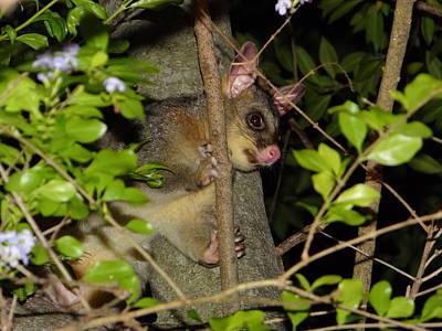 Brushtail Photograph - Brushtail Possum by Dani Katz