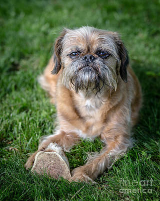 Griffon Wall Art - Photograph - Brussels Griffon by Edward Fielding
